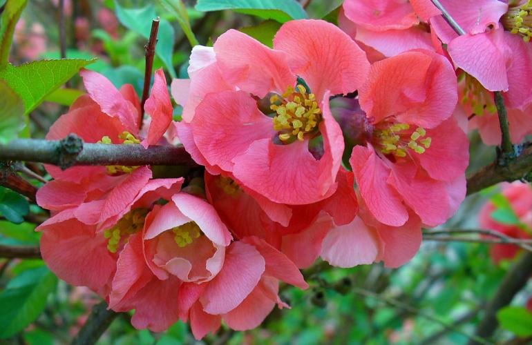 belles fleurs de pommier japonais