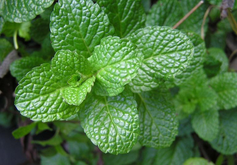 herb-2540565_1920