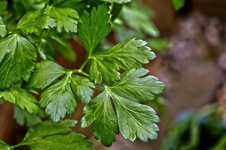 parsley-2535223_1920
