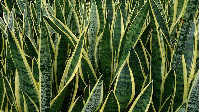 plantes serpent