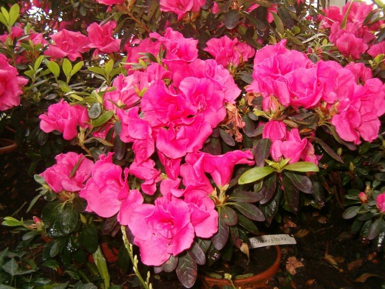 Rhododendron_simsii_Adventglocke_BotGardBln271207A
