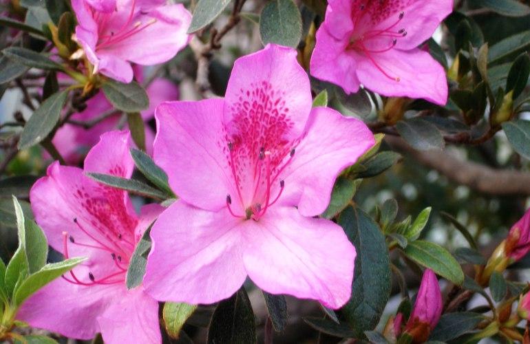 plusieurs fleurs d'azalée