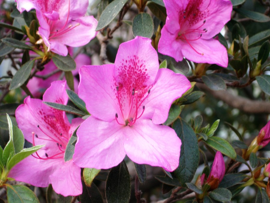 Tout savoir sur le rhododendron simsii azal e le blog - Rhododendron ne fleurit pas ...