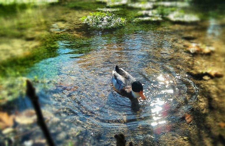 canard dans l'eau