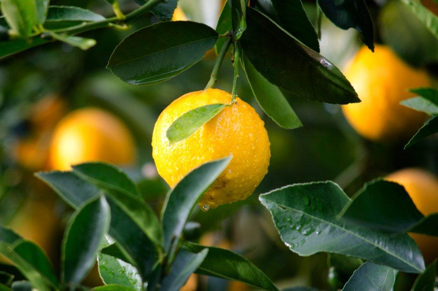 Comment greffer un citronnier?
