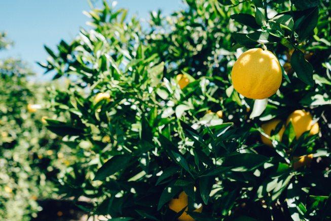 grand citronnier