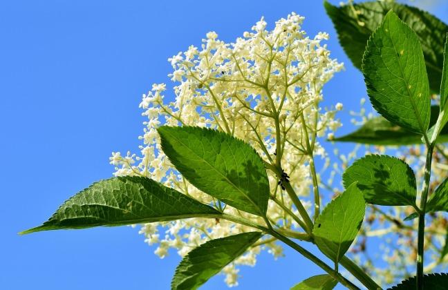 fleur de sureau ciel