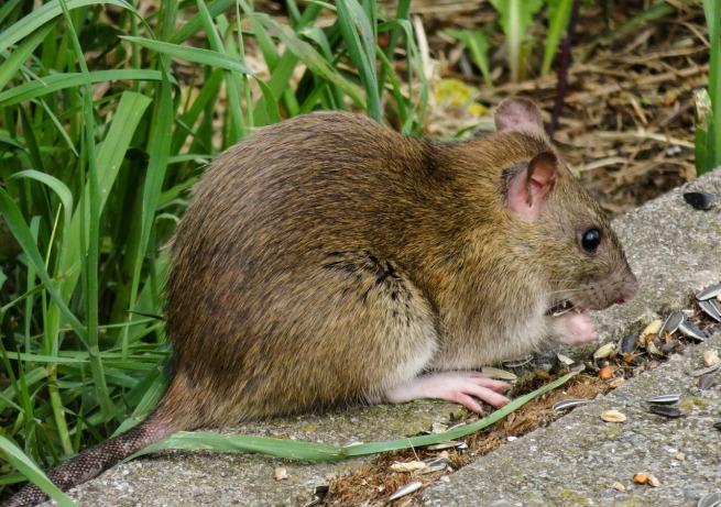 rat dans le jardin
