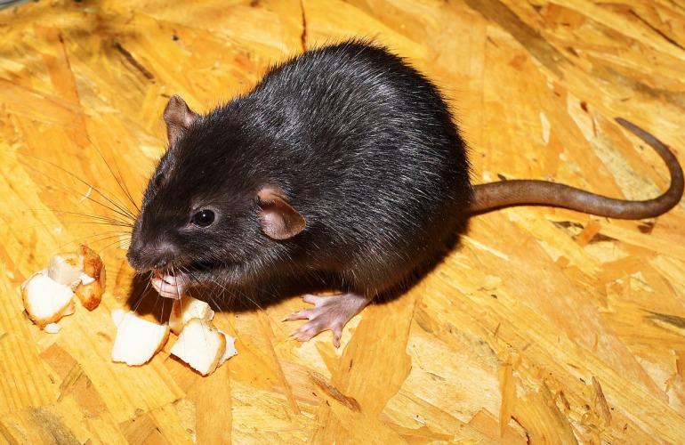 rat qui mange