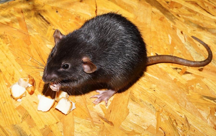 comment se dbarrasser des rats dans une maison free le blog maison conseils en bricolage et. Black Bedroom Furniture Sets. Home Design Ideas